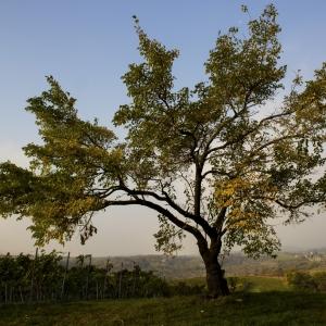 Nyilasmári dűlők / Nyilasmar Vineyard